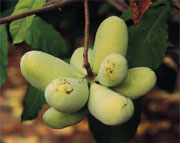 Clump of Pawpaws Source: http://pubs.ext.vt.edu/438/438-105/438-105.html#L10
